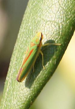Zikade(Graphocephala fennahi(D. A. Young 1977))