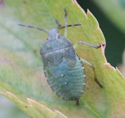 Nymphe der Grünen Stinkwanze(Palomena prasina(L. 1761)) auf dem Blatt eines Kirschbaumes(Prunus)