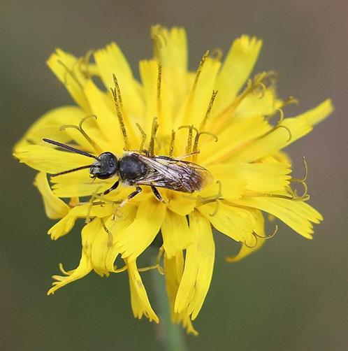 Furchenbiene(Lasioglossum leucozonium(Schrank 1781))