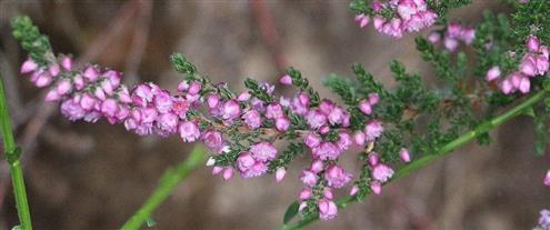 Besenheide(Calluna vulgaris(L.))