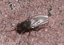 Faulfliege (Minettia longipennis)