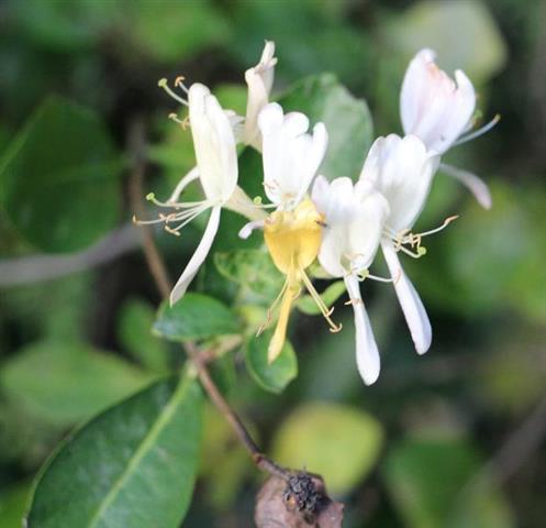 Japanische Heckenkirsche(Lonicera japonica(Thunb.))