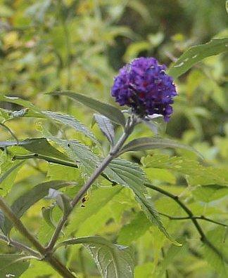 Später Seitentrieb eines Sommerflieders(Buddleja davidii)