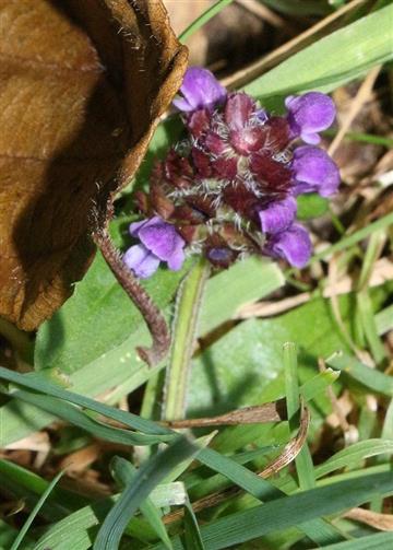 Kleine Braunelle(Prunella vulgaris(L.))