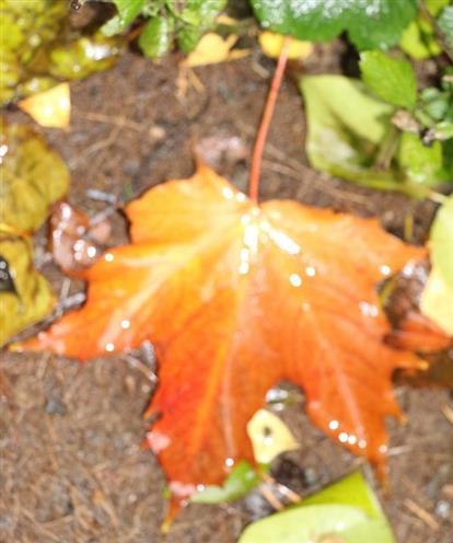 Ahornblatt(Acer platanoides(L.)) herbstlich gefärbt