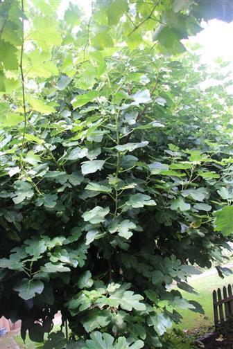 Echter Feigenbaum(Ficus carica (L.))