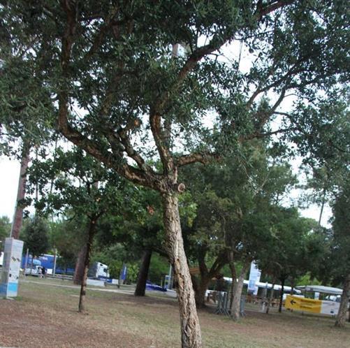 Korkeiche(Quercus suber(L.))