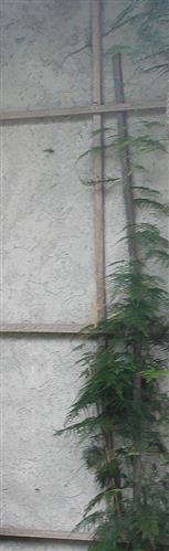 Farn-Spargel(Asparagus filicinus(Buch.-Ham. ex D.Don))