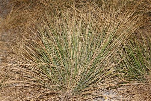 Gewöhnlicher Strandhafer(Ammophila arenaria(L.)Link)