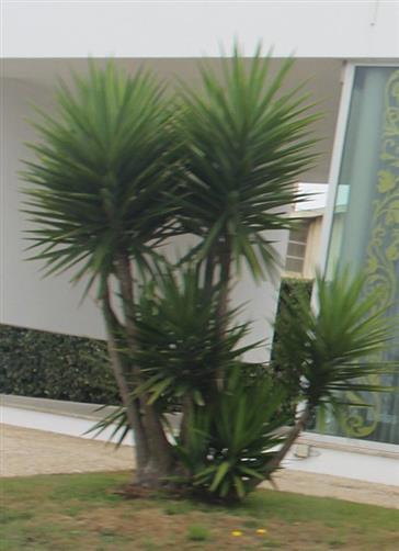 Palm-Lilie; Yucca-Palme(Yucca(L.))