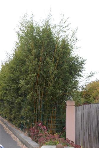 Bambus(Bambusoideae(Luerss.))