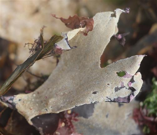 Bryozoenkolonie(Moostierchen) 1 auf Seetang