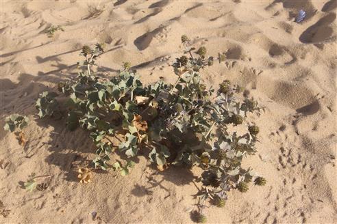 Stranddistel(Eryngium maritimum(L.))