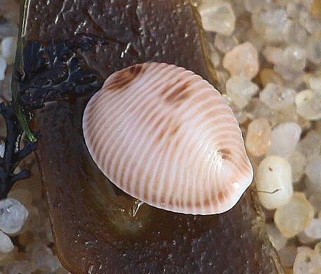 Gehäuse der Kauri- oder Porzellanschnecke(Cypraea spec.)