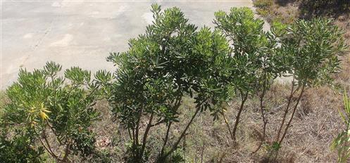 Junge Olivenbäumchen(Olea europaea(L.)