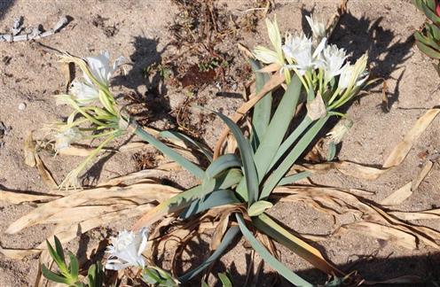 Strandlilie(Pancratium maritimum(L.))