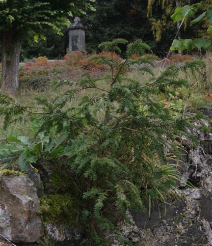 Europäische Eibe(Taxus baccata(L.)) auf der Steinmauer vor dem Kriegsdenkmal aufwachsend