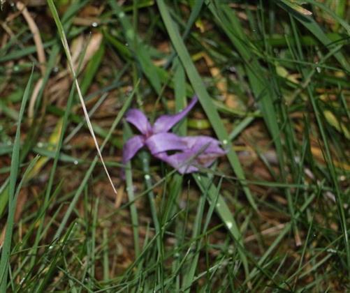 Herbstzeitlose(Colchicum autumnale(L.))