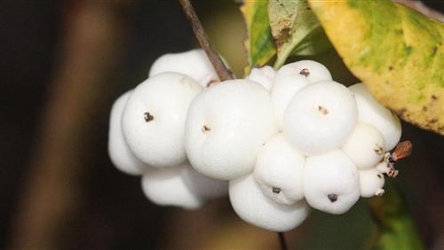 Gewöhnliche Schneebeeren(Symphoricarpos albus(Duhamel))