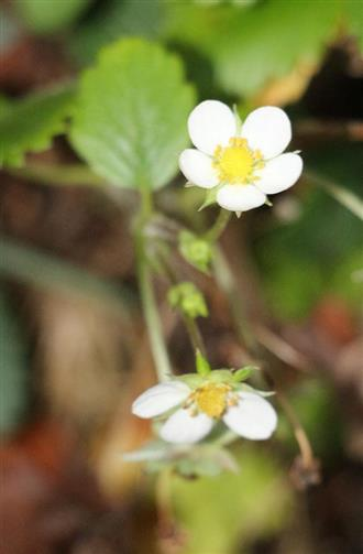 Wald-Erdbeere(Fragaria vesca(L.))