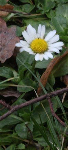 Gänseblümchen(Bellis perennis(L.))01 im Dezember blühend