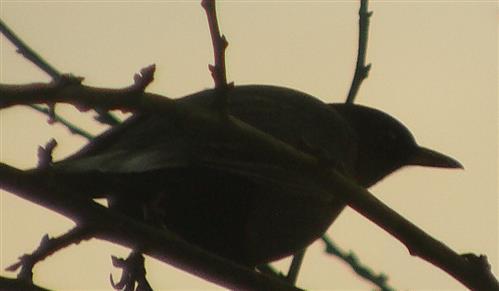 Amsel(Turdus merula(L. 1758)) sich duckend