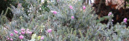 Besenheide(Caluna vulgaris(L.))