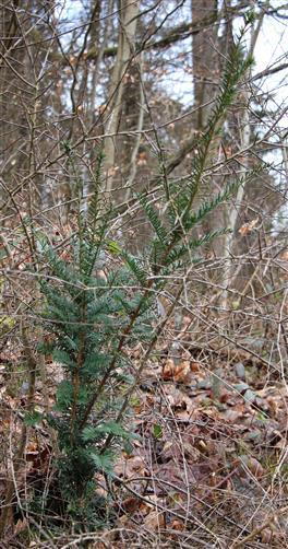 Europäische Eibe(Taxus bacata(L.))