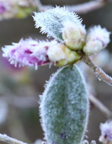 Lila Knospe eines Rhododendronbusches im Raureif