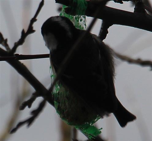 Tannenmeise(Parus ater(L. 1758)) am Meisenknödel