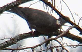 Ringeltaube(Columba palumbus(L. 1758)) im Baumgeäst