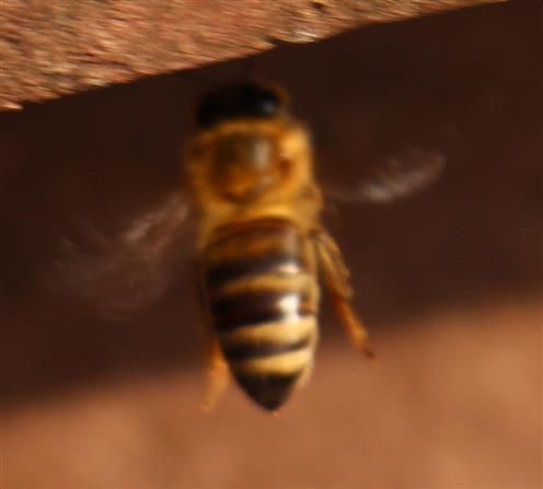 Westliche Honigbiene(Apis mellifera(L. 1758)) beim Anflug eines Komposthaufens