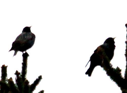 Zwei Stare(Sturnus vulgaris(L. 1758)) am Morgen