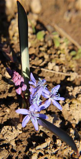 Zweiblättriger Blaustern(Scilla bifolia(L.))(14X)