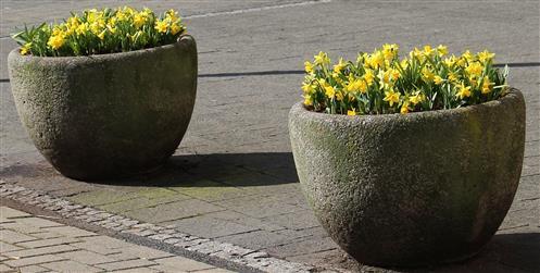 Blumenkübel(Osterglocken(Narcissus pseudonarcissus(L.)) vor der VR-Bank in Biedenkopf