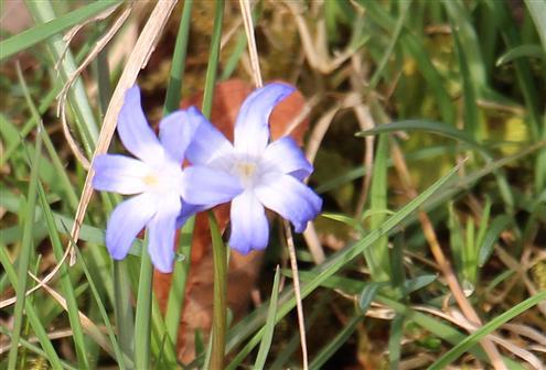 Blüten der Gewöhnlichen Sternhyazinthe(Chionodoxa luciliae(Boiss.))
