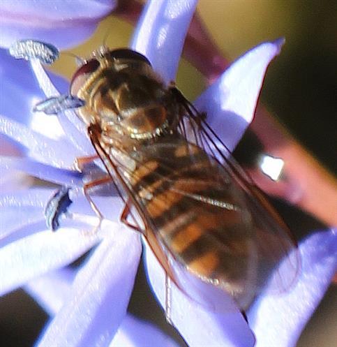 Hainschwebfliege(Episyrphus balteatus(De Geer 1776)) auf Blüte des zweiblättrigen Blausterns(Scilla bifolia(L.))