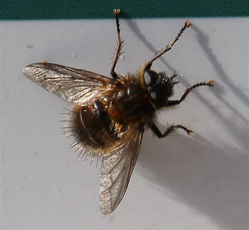 Tachinidae Tachina ursina(Meigen 1824))