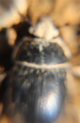 Gemeiner Mistkäfer(Geotrupes stercorarius(L. 1758)) etwas erdig(bei zehnfacher Vergrößerung)