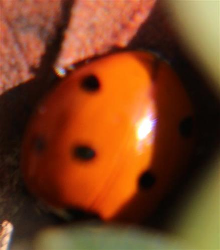 Siebenpunkt-Marienkäfer(Coccinella septempunctata(L. 1758)) sich sonnend bzw. aufwärmend(bei zehnfacher Vergrößerung)