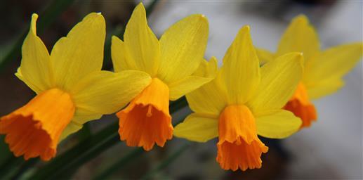 Osterglocken auf- bzw. erblüht( Narcissus