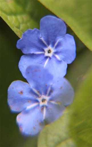 Blüten des Frühlings-Nabelnüsschens(Omphalodes verna(Moench))