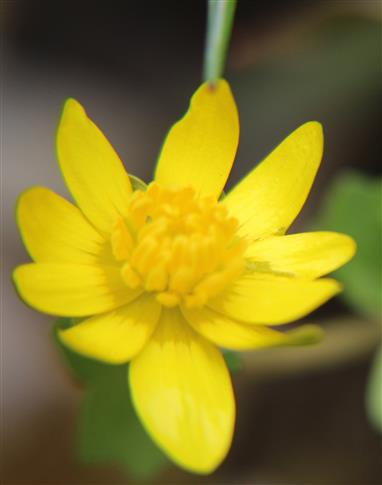 Blüte eines Scharbockskrautes(Ficaria verna(Huds.))