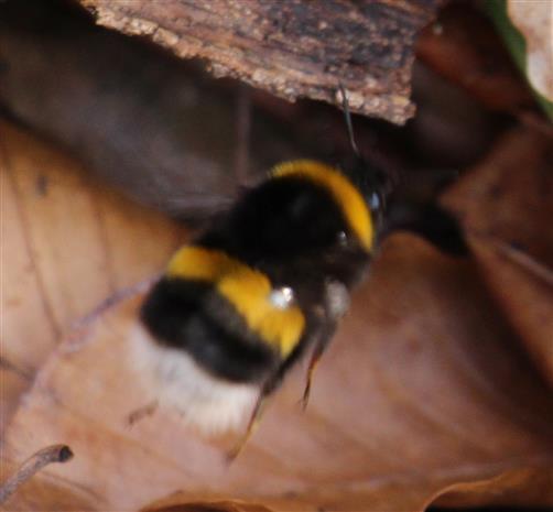 Dunkle Erdhummel(Bombus terrestris(L. 1758)) beim Einflug in ein mögliches Nest