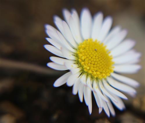 Blüte eines Gänseblümchens(Bellis perennis(L.))