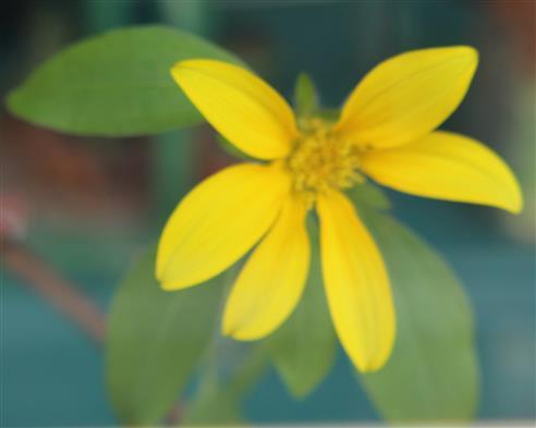 Kleinblütige Sonnenblume(Helianthus microcephalus( Torr. & A. Gray ))