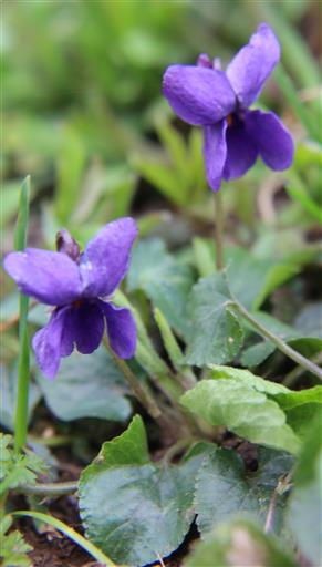 Waldveilchen(Viola reichenbachiana(Boreau))