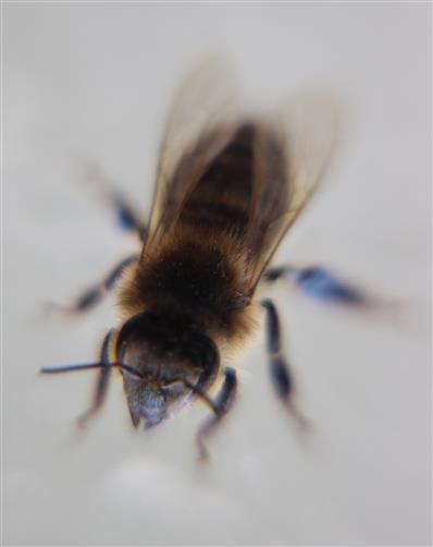 Westliche Honigbiene(Apis mellifera(L. 1758))