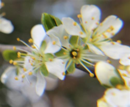 Blühender Zweig einer Schlehe(Prunus spinosa(L.))