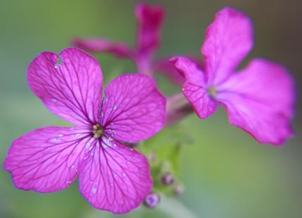 Blüten der Mondviole, des einjährigen Silberblattes(Lunaria annua(L.))